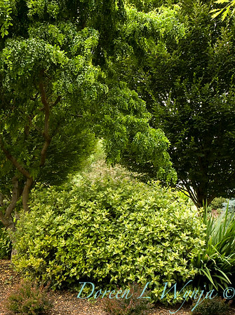 6323 Osmanthus heterophyllus Goshiki_010_72dpi