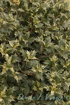 Osmanthus heterophyllus 'Goshiki'_1043
