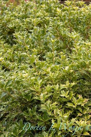 Osmanthus heterophyllus 'Goshiki'_3482