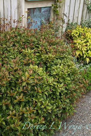 Osmanthus heterophyllus Goshiki_056