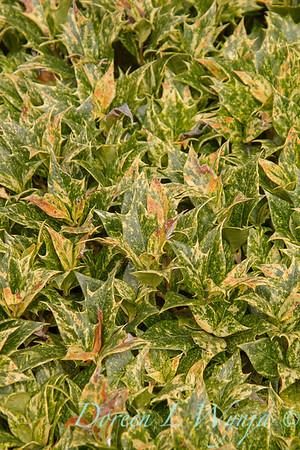 Osmanthus heterophyllus Goshiki_029