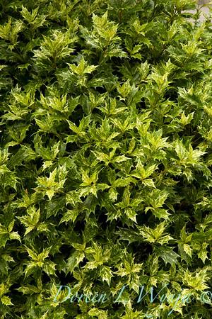6323 Osmanthus heterophyllus Goshiki_012_72dpi