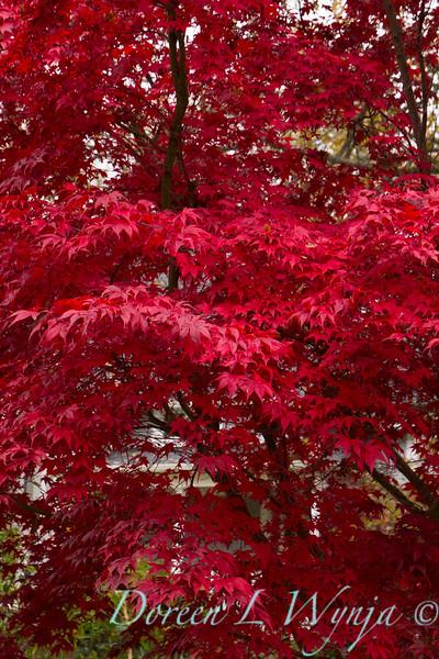 Acer palmatum Bloodgood_1722