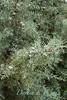 Cupressus arizonica Blue Ice_001