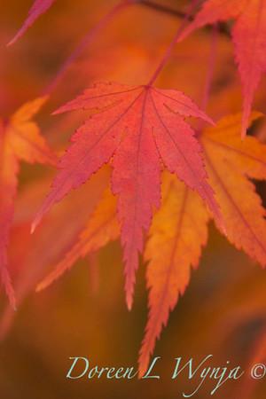 Acer palmatum_069