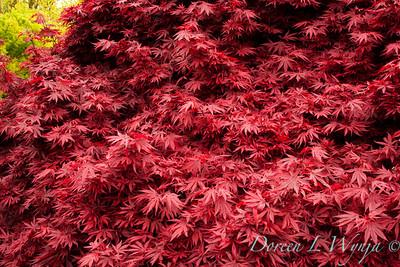 Acer plamatum Shaina_004M