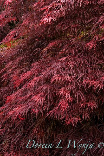 87 Acer palmatum Ever Red_024