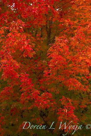 Acer rubrum October Glory_004