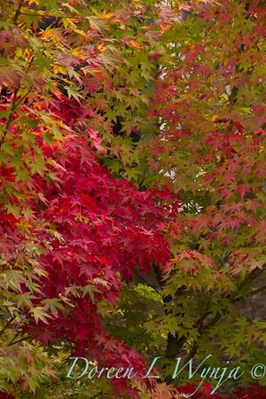 Acer palmatum_151