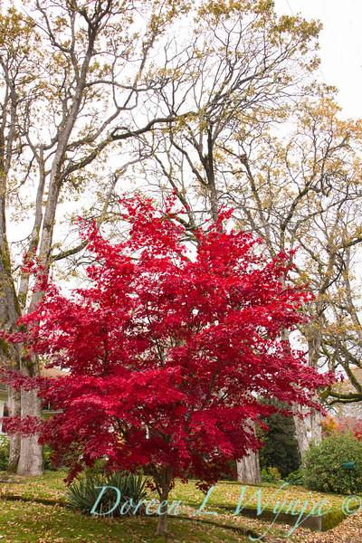Acer palmatum Bloodgood_1719