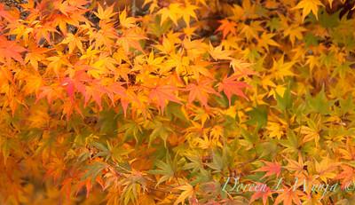 Acer palmatum_084
