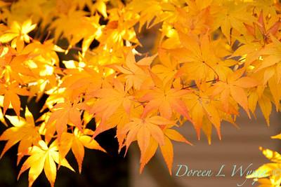 Acer palmatum_076