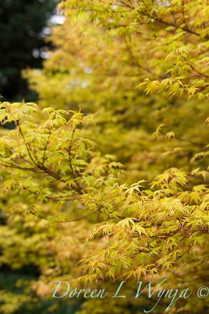 Acer palmatum 'Katsura'_1417
