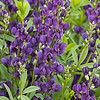 7706 Baptisia 'Royal Purple'_7396