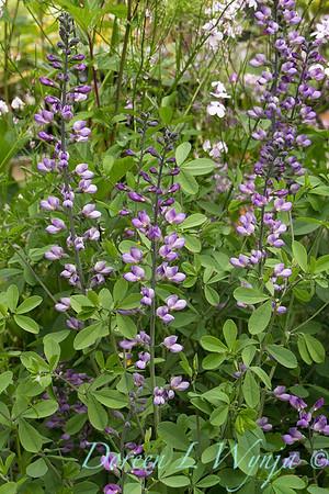 Baptisia australis Purple Smoke_028FG