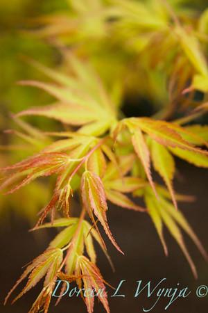 Acer palmatum 'Katsura'_1412