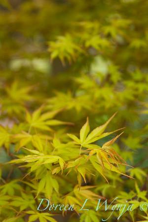 Acer palmatum 'Katsura'_1413