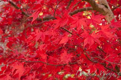 Acer palmatum_106