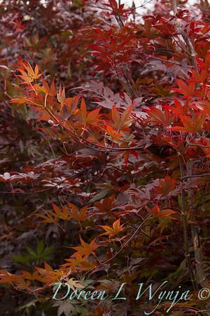75 Acer palmatum Bloodgood_033
