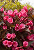 Weigela Wine and Roses_012_Doreen Wynja for Monrovia Growers