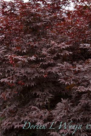 75 Acer palmatum Bloodgood_031