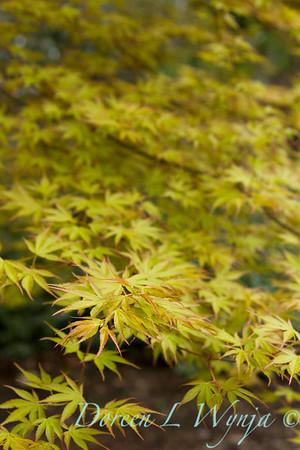 Acer palmatum 'Katsura'_1410