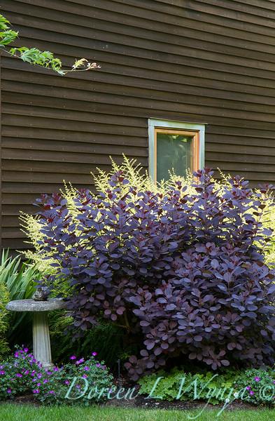 Cotinus coggygria Royal Purple_2082