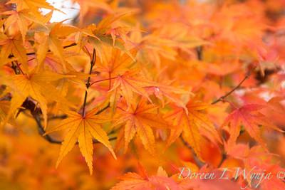 Acer palmatum_091