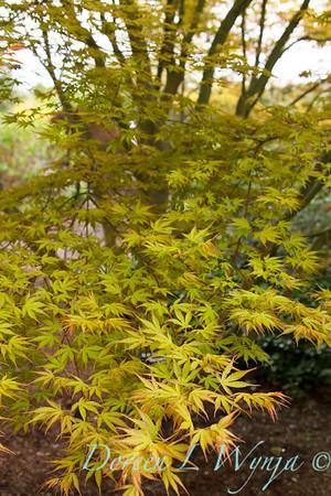 Acer palmatum 'Katsura'_1411