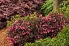 Weigela Wine and Roses_009_Doreen Wynja for Monrovia Growers