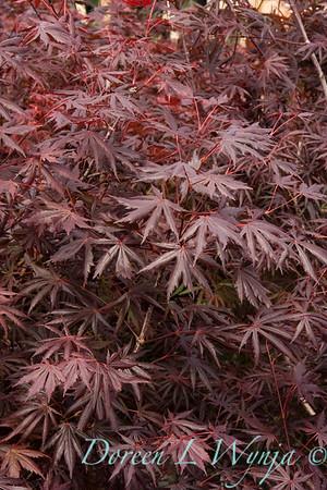 3396 Acer palmatum Trompenburg_001