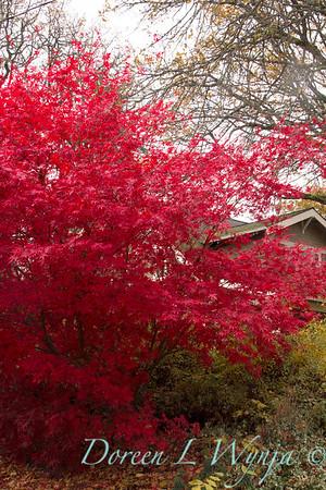 Acer palmatum Bloodgood_1727