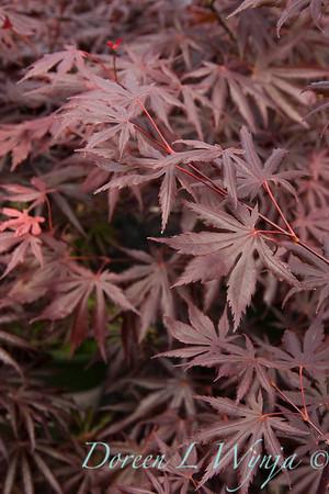 3396 Acer palmatum Trompenburg_003