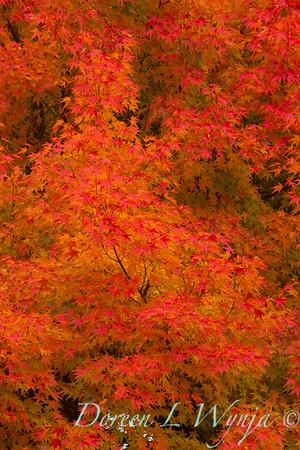 Acer palmatum_1806