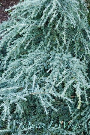 2328 Feelin' Blue Deodar Cedar Monrovia_9-23-05_004