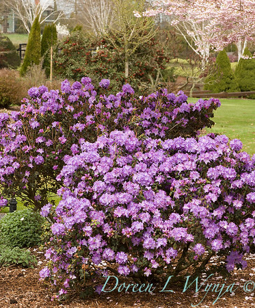 Rhododendron 'Blue Diamond'_012