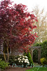 Acer Bloodgood - Rhododendron white_051