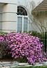 rhododendron PJM_2586_300dpi