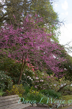 Cercis canadensis 'Forest Pansy'_0193