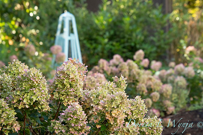 41832 Hydrangea paniculata 'SMHPCW' Strawberry Shake_5138