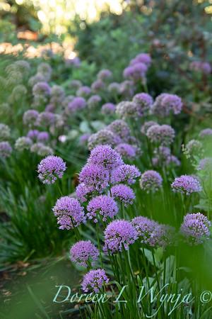 40056 Allium 'ALLMIG1' Millenium_5146
