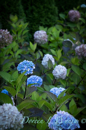 9275 Hydrangea macrophylla 'Monmar' Blue Enchantress_5173