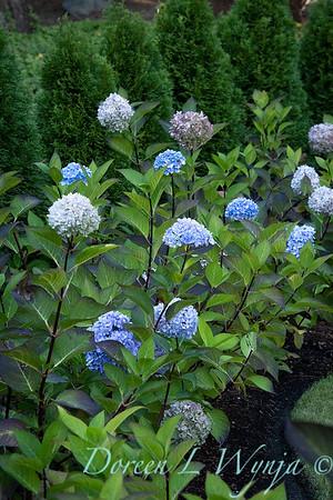 9275 Hydrangea macrophylla 'Monmar' Blue Enchantress - 7301 Thuja occidentalis 'Smaragd' Emerald Green hedge_5189