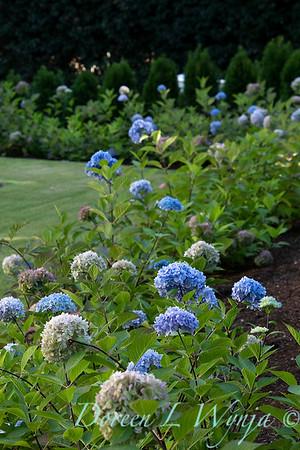 9275 Hydrangea macrophylla 'Monmar' Blue Enchantress_5177