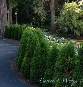 7301 Thuja occidentalis 'Smaragd' Emerald Green hedge_5202