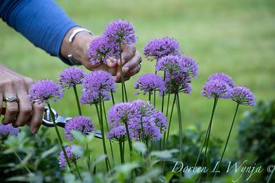 40056 Allium 'ALLMIG1' Millenium_5154