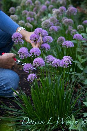40056 Allium 'ALLMIG1' Millenium_5167