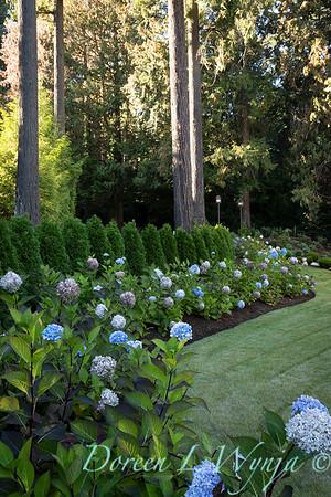 9275 Hydrangea macrophylla 'Monmar' Blue Enchantress - 7301 Thuja occidentalis 'Smaragd' Emerald Green hedge_5196