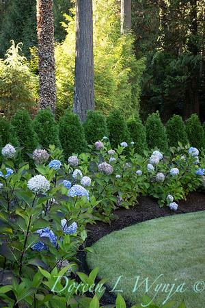 9275 Hydrangea macrophylla 'Monmar' Blue Enchantress - 7301 Thuja occidentalis 'Smaragd' Emerald Green hedge_5195
