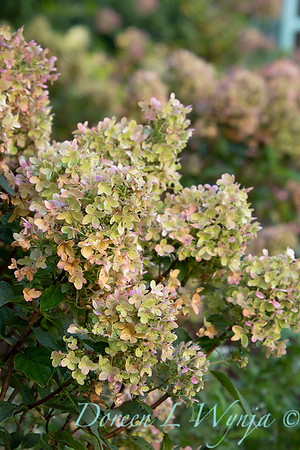 41832 Hydrangea paniculata 'SMHPCW' Strawberry Shake_5124